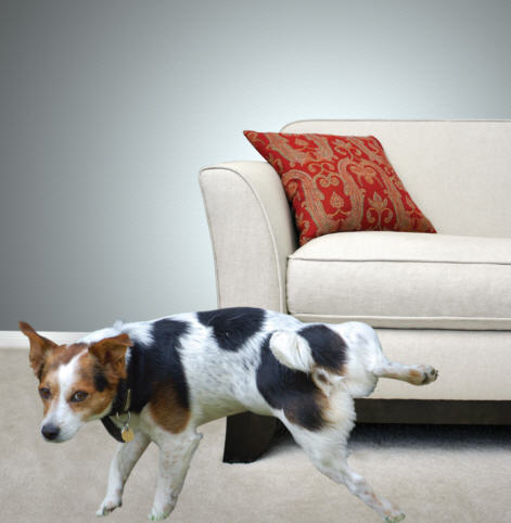Pet stain and odour removal in calgary